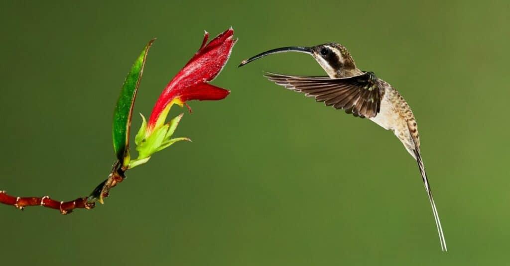 Largest hummingbirds - Long-billed hermit