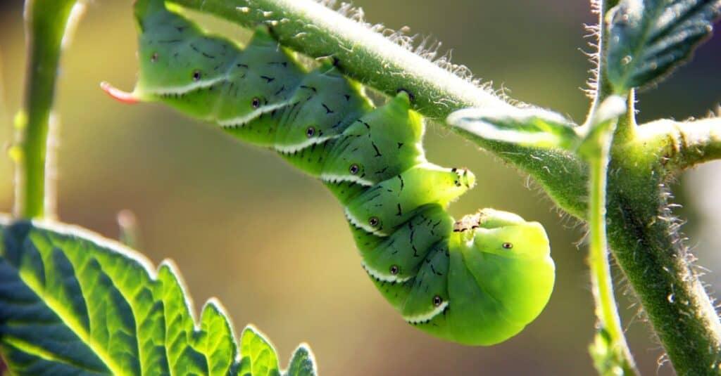 Largest caterpillars - Tobacco Hornworm