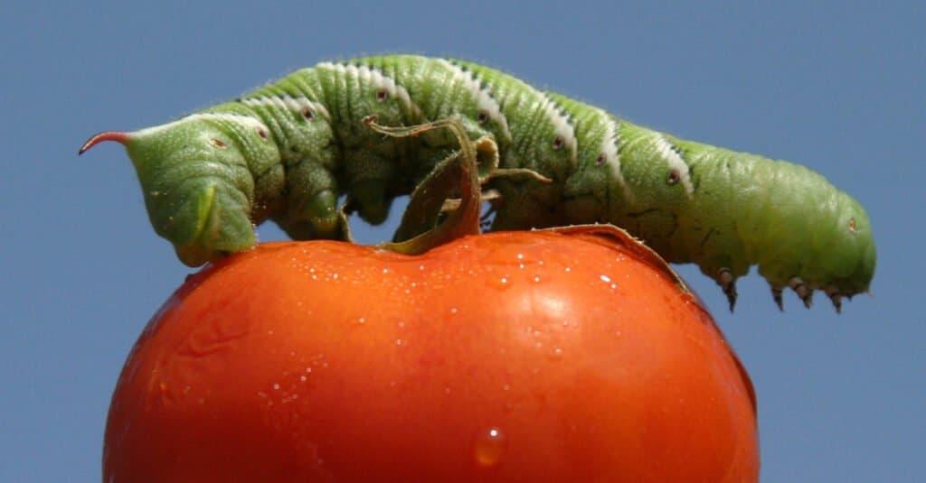 Largest caterpillars - tomato hornworm