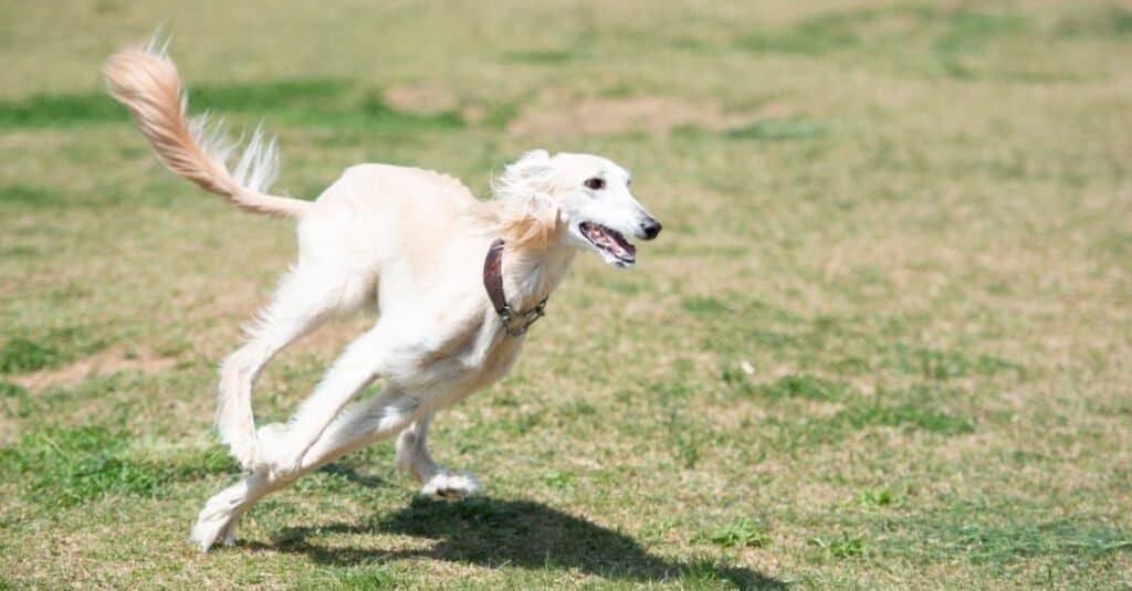 Oldest Dog Breeds - Saluki