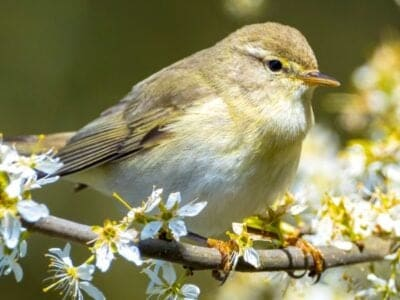 A Willow Warbler