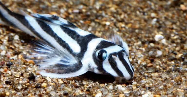 zebra pleco resting on the bottom of the ocean