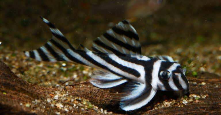 zebra pleco swimming