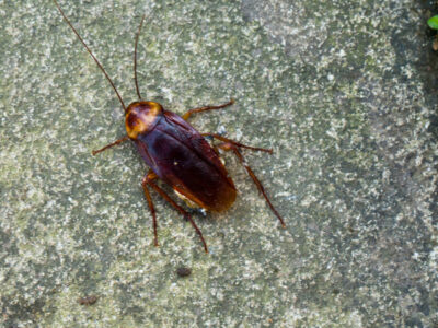 A American Cockroach