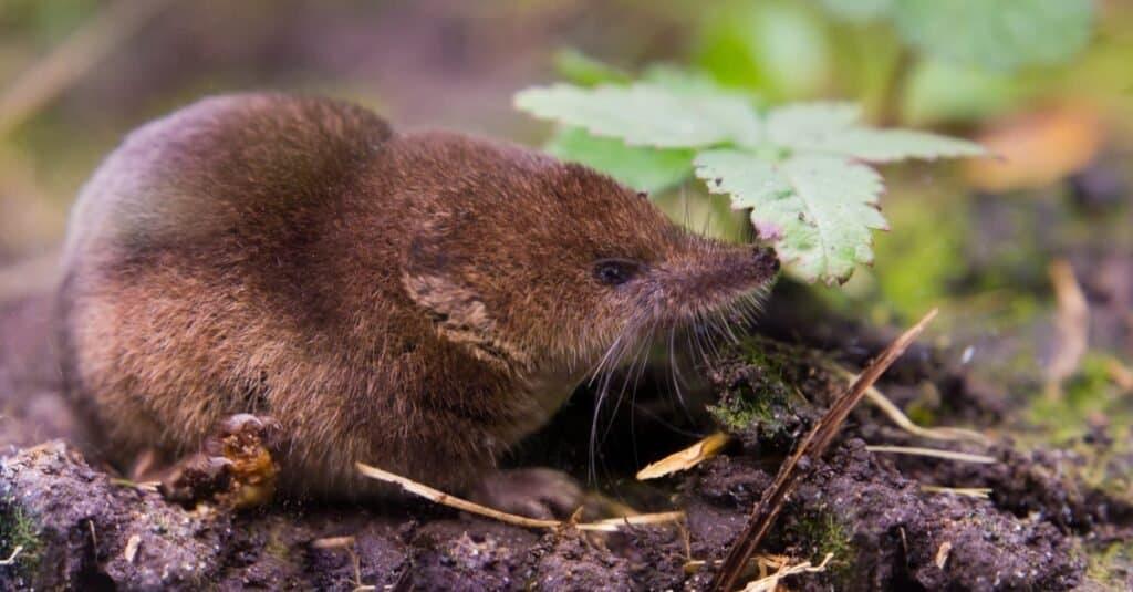 Animals That Use Sonar-shrew