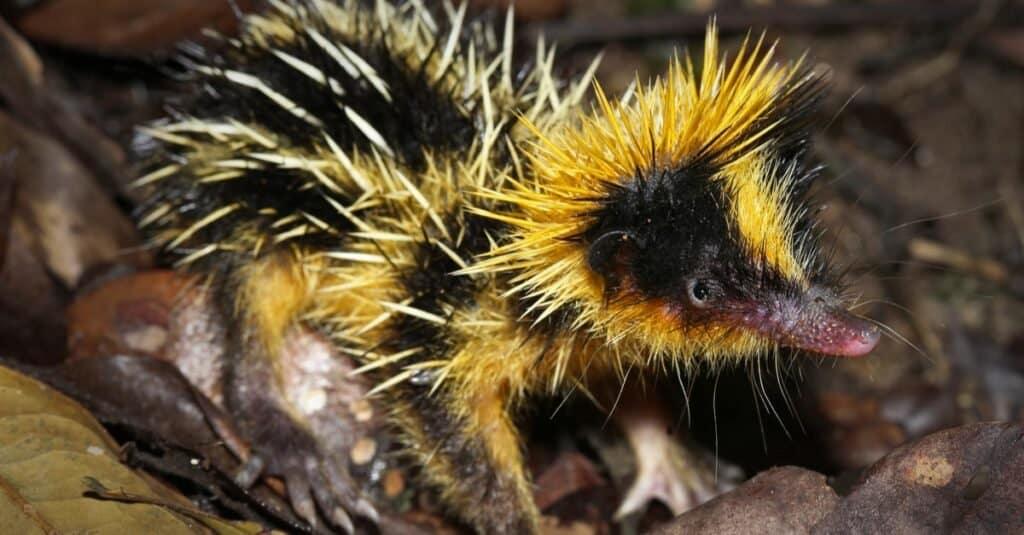 Animals That Use Sonar-tenrec