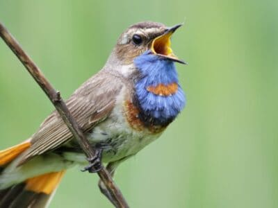 A 10 Animals that Sing