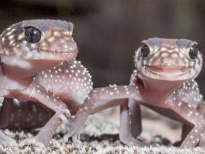 A Australian Gecko