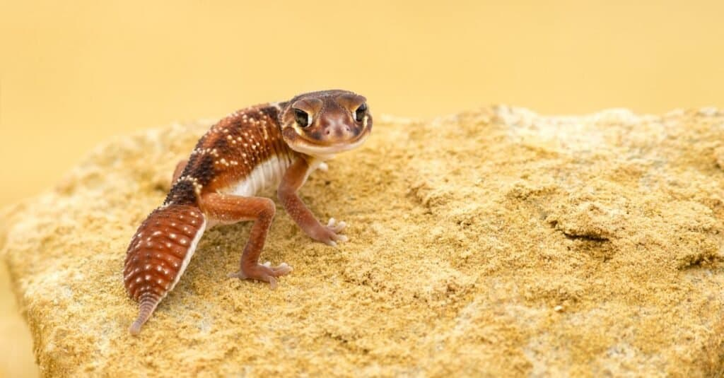 Nephrurus levis, commonly known as the three-lined knob-tailed gecko, smooth knob-tailed gecko, or common knob-tailed gecko, is a native Australian gecko species.