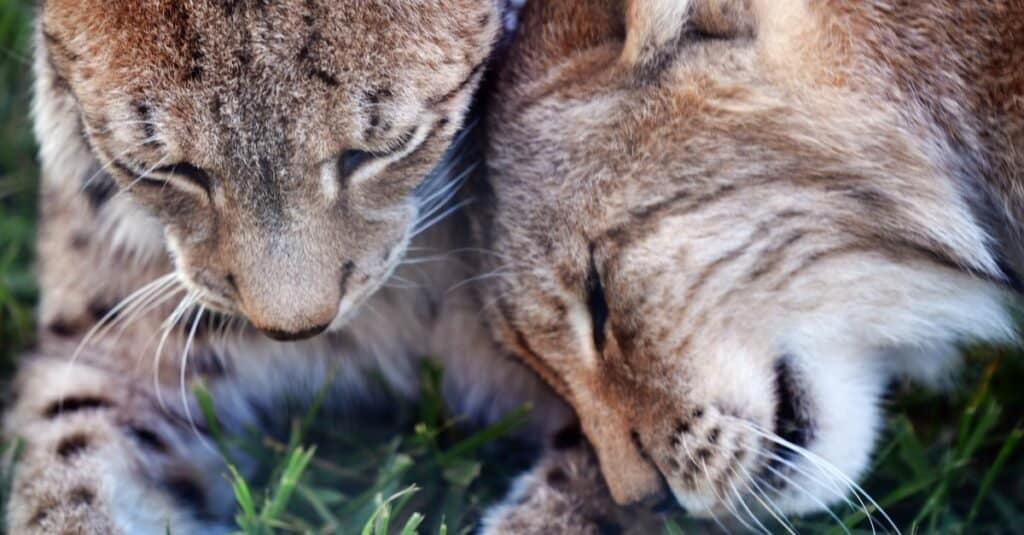 A male and female Balkan lynx grooming and socializing.