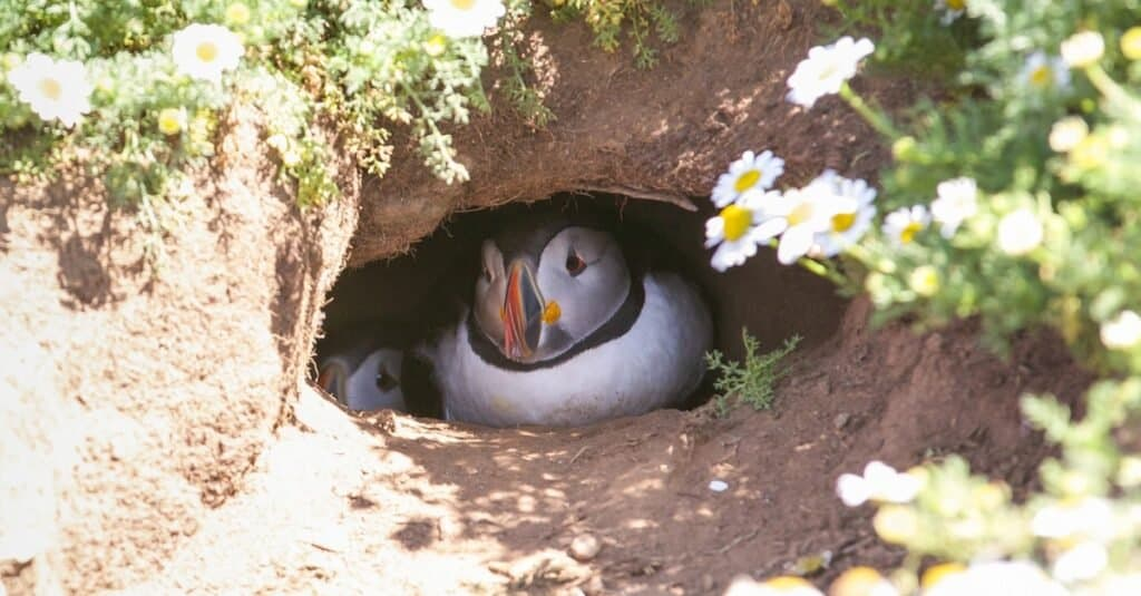 Birds that nest on the ground: Atlantic Puffin