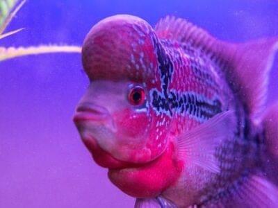 A Flowerhorn Fish