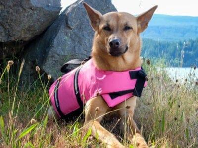 A Formosan Mountain Dog