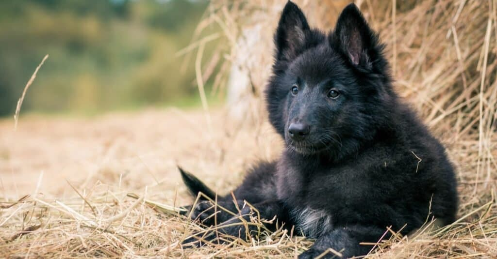Groenendael puppy outside on the grass.