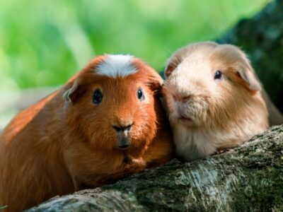 A Guinea Pig Types: The Ultimate Guide To Guinea Pig Breeds