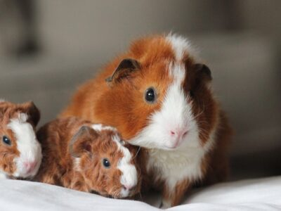 A How Long Are Guinea Pigs Pregnant?
