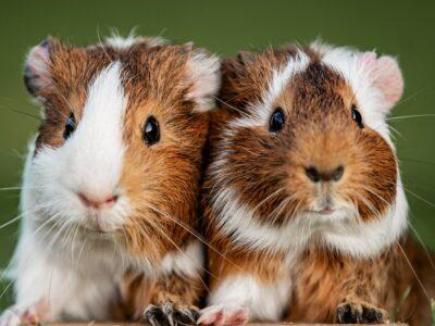 A Why Do Guinea Pigs Squeak?