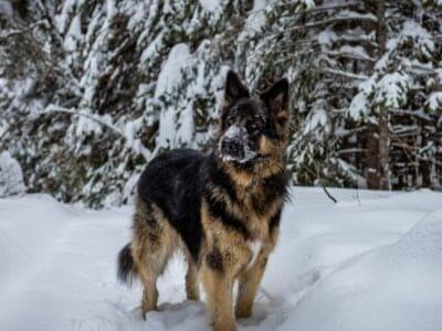 A King Shepherd