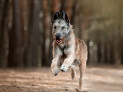 A Types of Herding Dogs