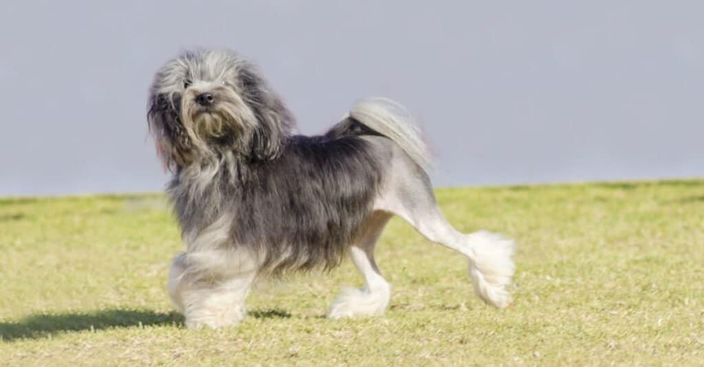 A black,gray and white petit Lowchen (little lion dog) walking on the grass.