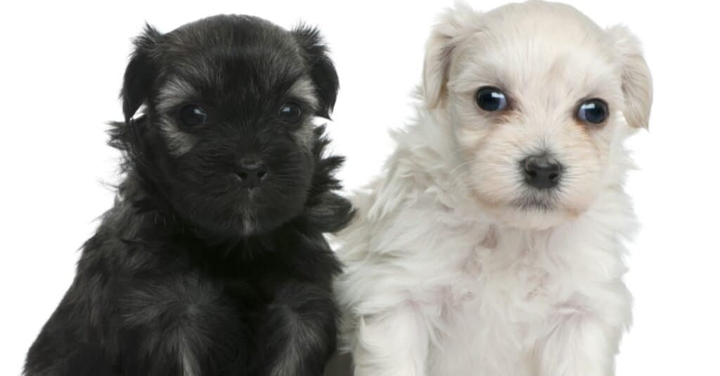 Two cute Lowchen or Petit Chien Lion puppies, 3 weeks old.