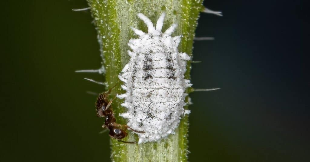 Mealybug with an ant. Ants have a symbiotic relationship with mealybugs.