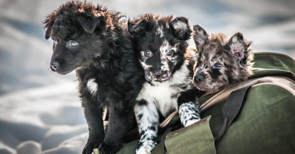 Cute Mudi puppies playing in a bag.