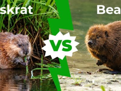 A Muskrat vs Beaver: 6 Key Differences Explained