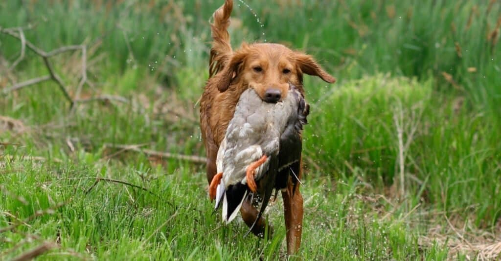 A Nova Scotia Duck Tolling Retriever (NSDTR or Toller) retrieving a mallard duck.