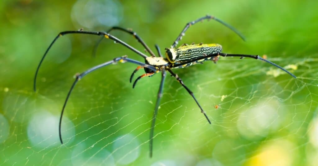 Beautiful golden orb weaver spider in the forest.