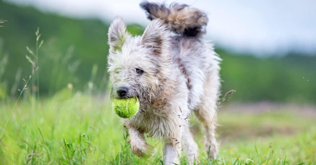 Cute Hungarian Pumi shepherd dog enjoying outdoors in spring.
