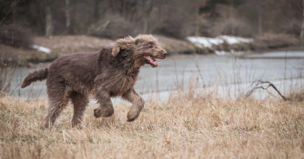 Running and playing Spinone Italiano dog.