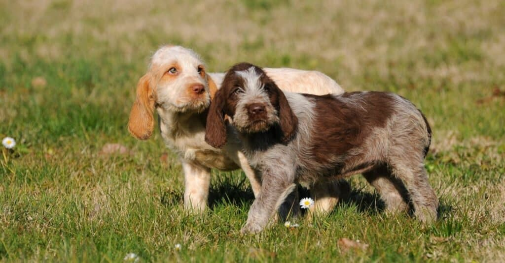 Two beautiful Spinone Italiano puppies playing in the grass.