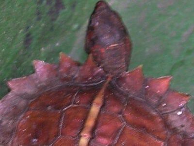 A Heosemys spinosa