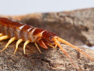 A What Do Centipedes Eat?