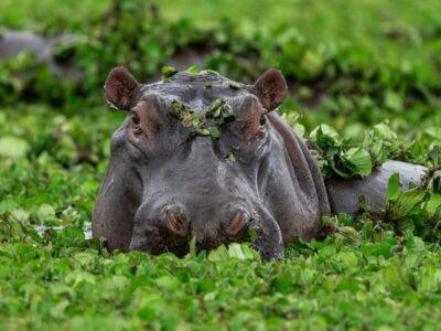 A What Do Hippos Eat?
