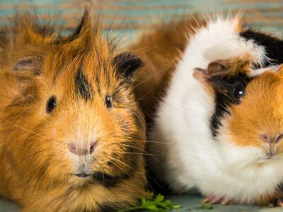 A Where Do Guinea Pigs Come From Originally?