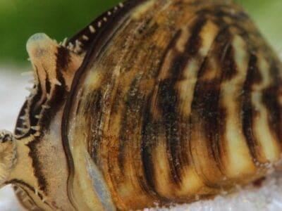 A Zebra Mussels