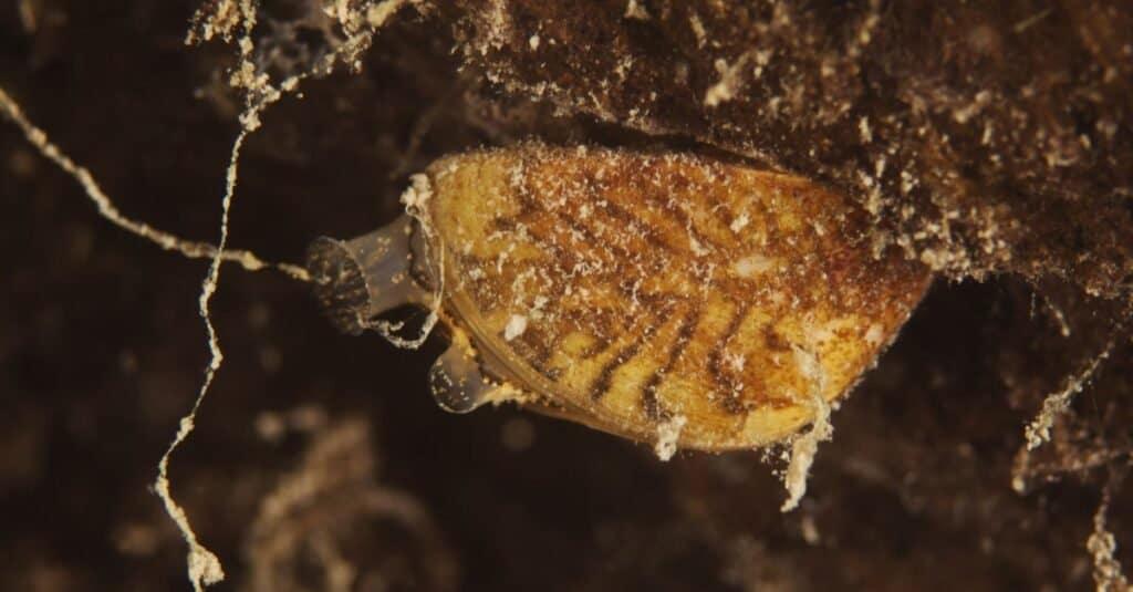 Zebra mussel, Wandermuschel (Dreissena polymorpha), attached to a rock.