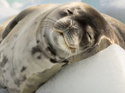 A Crabeater Seal