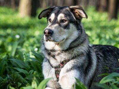 A Czechoslovakian Wolfdog