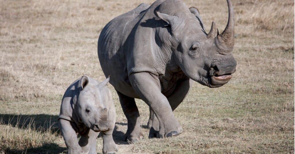 Rhino baby - a female rhino with her calf