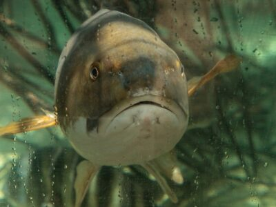 A Hardhead Catfish