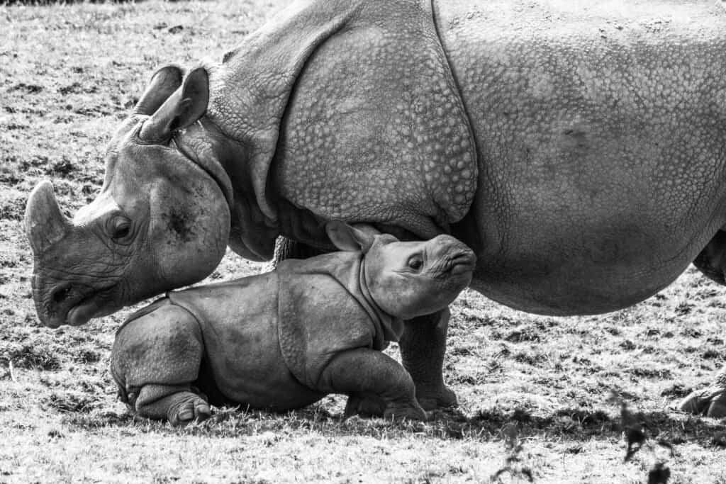 Rhino baby - an Indian rhino calf