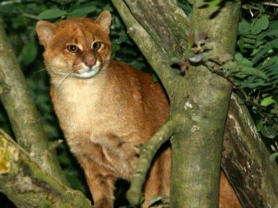 A Jaguarundi Cat