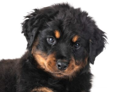 A Long-Haired Rottweiler