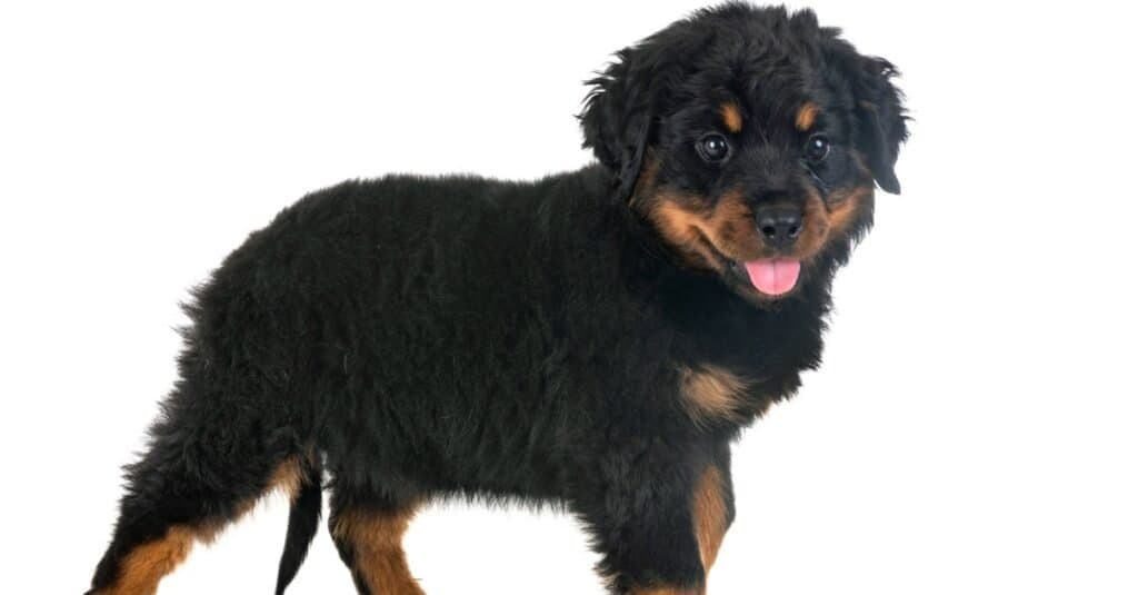 long-haired rottweiler isolated puppy