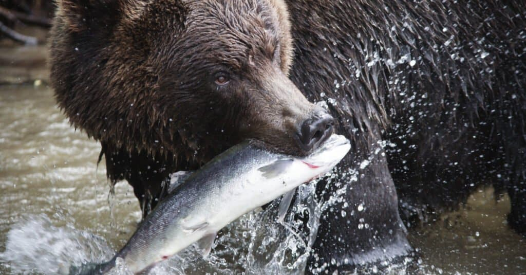 What do grizzly bears eat - eating a salmon