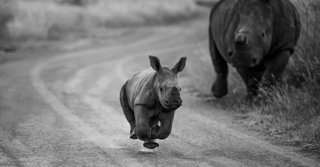 Rhino baby - running calf