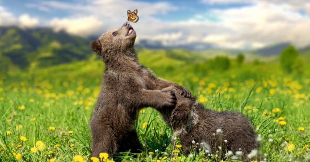 What do grizzly bears eat - grizzly bear cubs